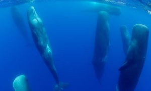 Sperm-whales-sleepinAzores